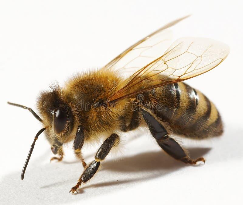 Feche acima da abelha fotografia de stock royalty free