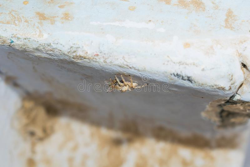 Feche acima da aranha de salto do scenicus do salticus com uma mosca da casa fotografia de stock