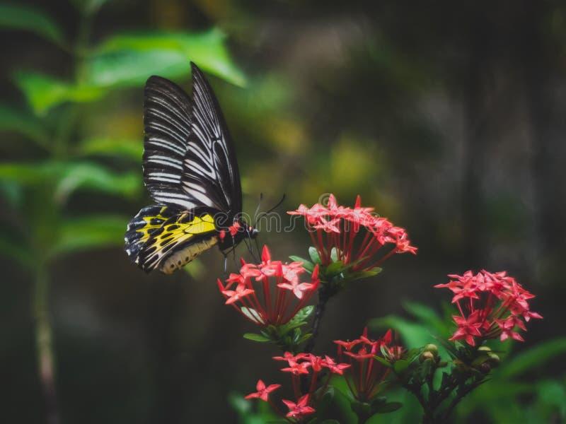 Feche acima da borboleta manchada amarela que come o pólen em uma flor vermelha imagem de stock royalty free