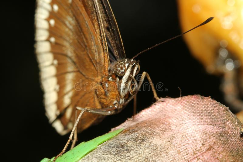 feche acima da borboleta marrom foto de stock