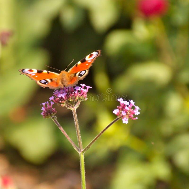 Feche acima da borboleta na flor imagens de stock