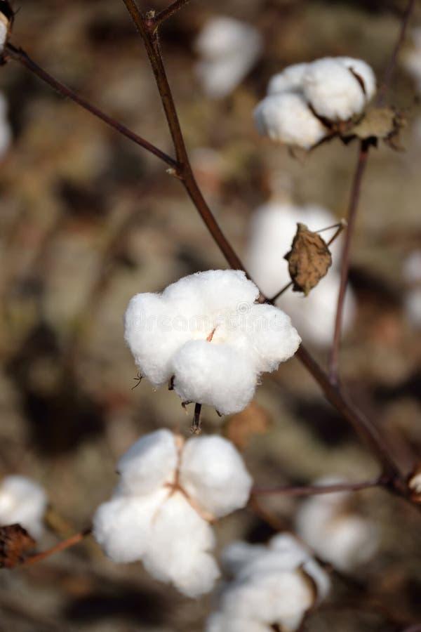 Feche acima da cápsula do algodão na planta foto de stock royalty free