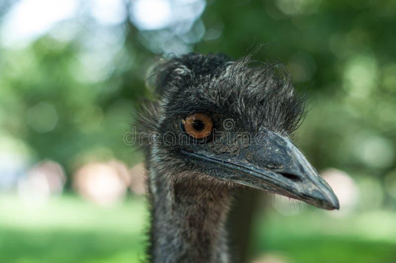 Feche acima da cabeça da avestruz fotos de stock royalty free