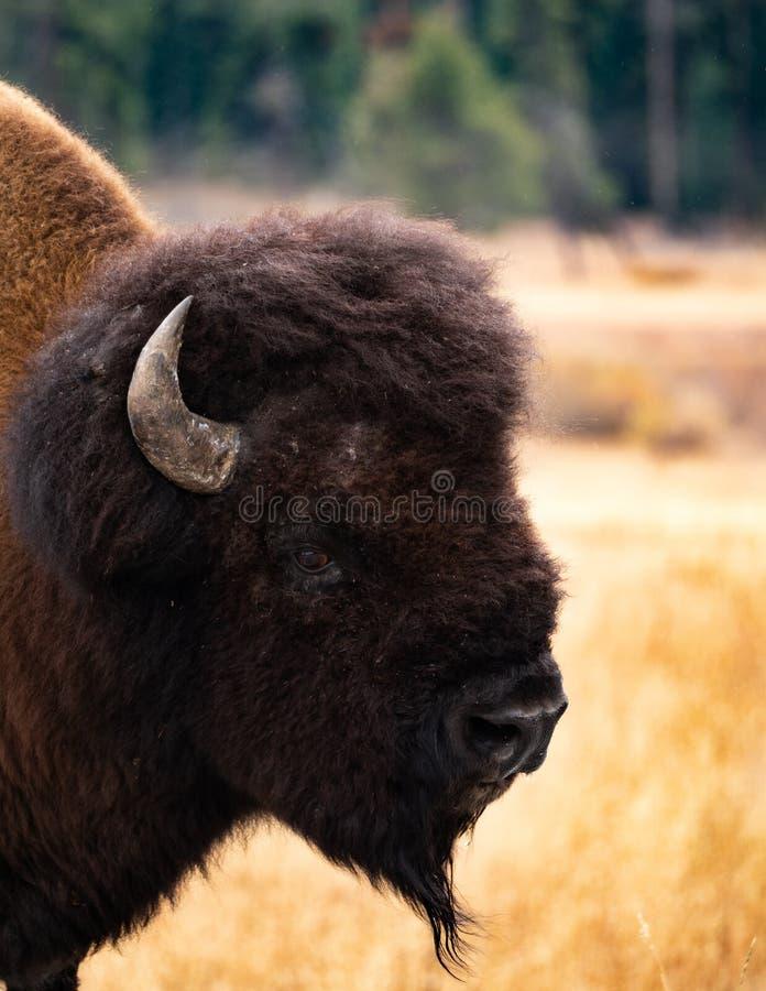 Feche acima da cabeça de um americano Bison Bull imagens de stock royalty free