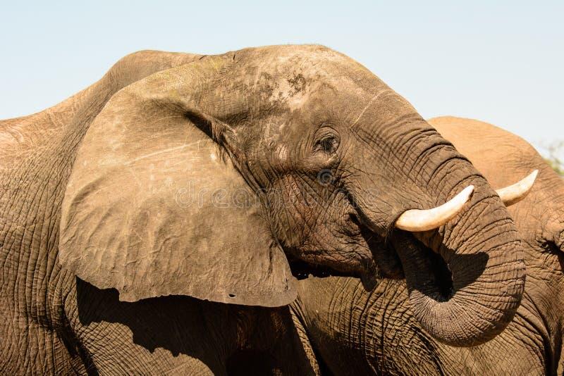 Feche acima da cabeça de um elefante fotografia de stock