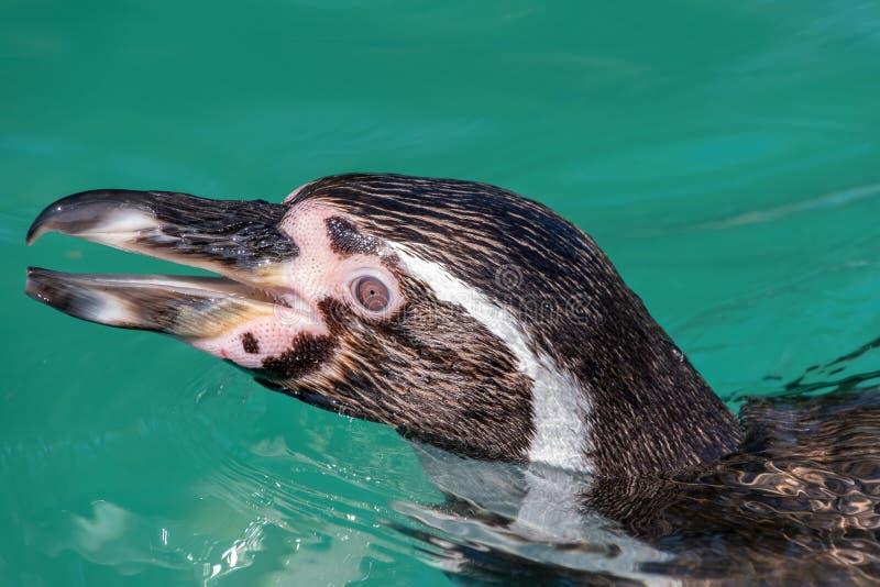 Feche acima da cabeça de um pinguim de Humboldt fotos de stock royalty free