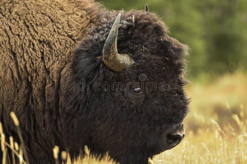 Feche acima da cabeça do bisonte fotos de stock