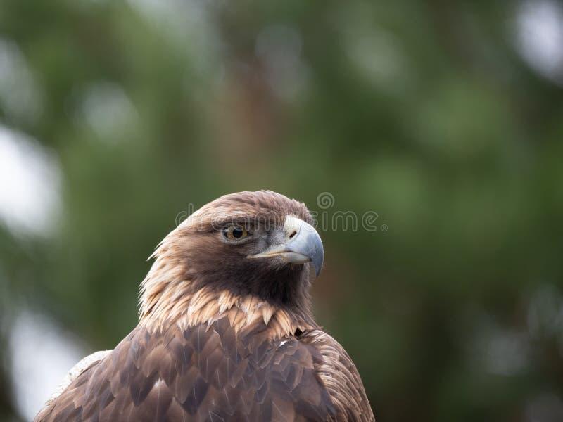 Feche acima da cabeça e da caixa de Eagle With dourado um olhar intenso fotos de stock royalty free