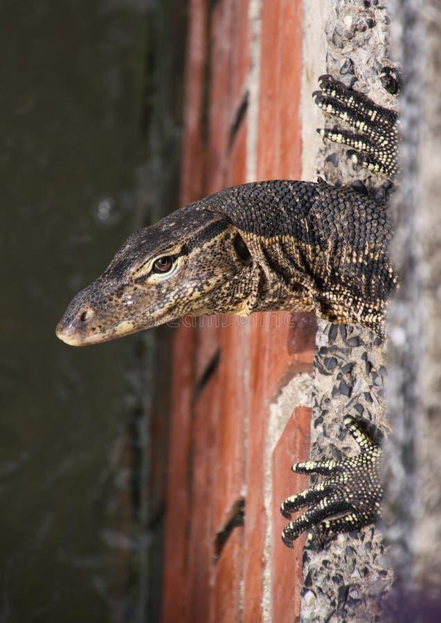 Feche acima da cabeça e das garras do salvator asiático do Varanus do lagarto de monitor da água que vive no sistema de água de e foto de stock