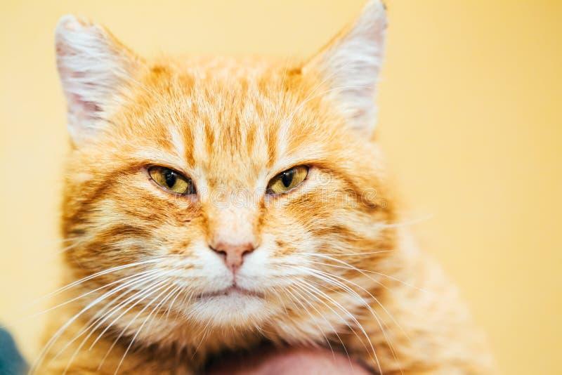 Feche acima da cabeça, focinho do gato malhado calmo do vermelho alaranjado fotos de stock royalty free