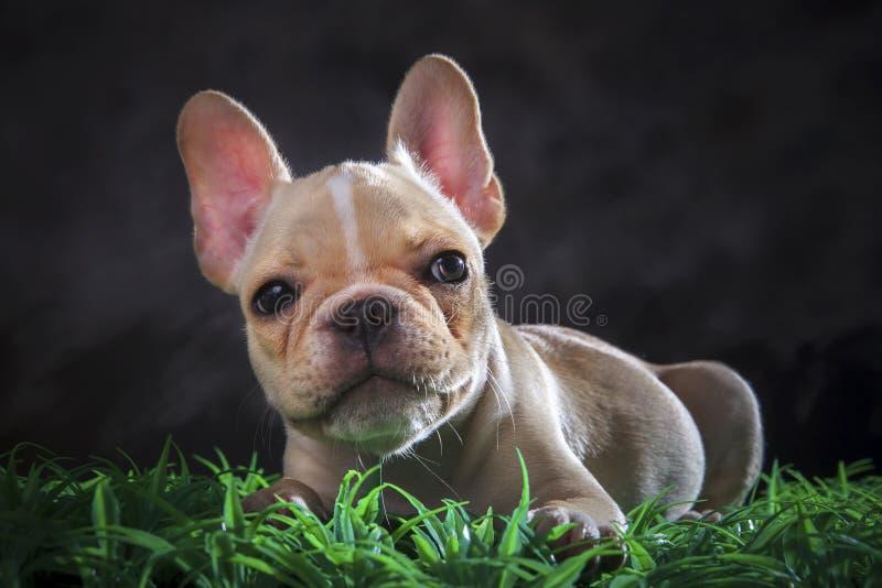 Feche acima da cara bonita do cão francês do touro que encontra-se no flo da grama verde imagens de stock royalty free
