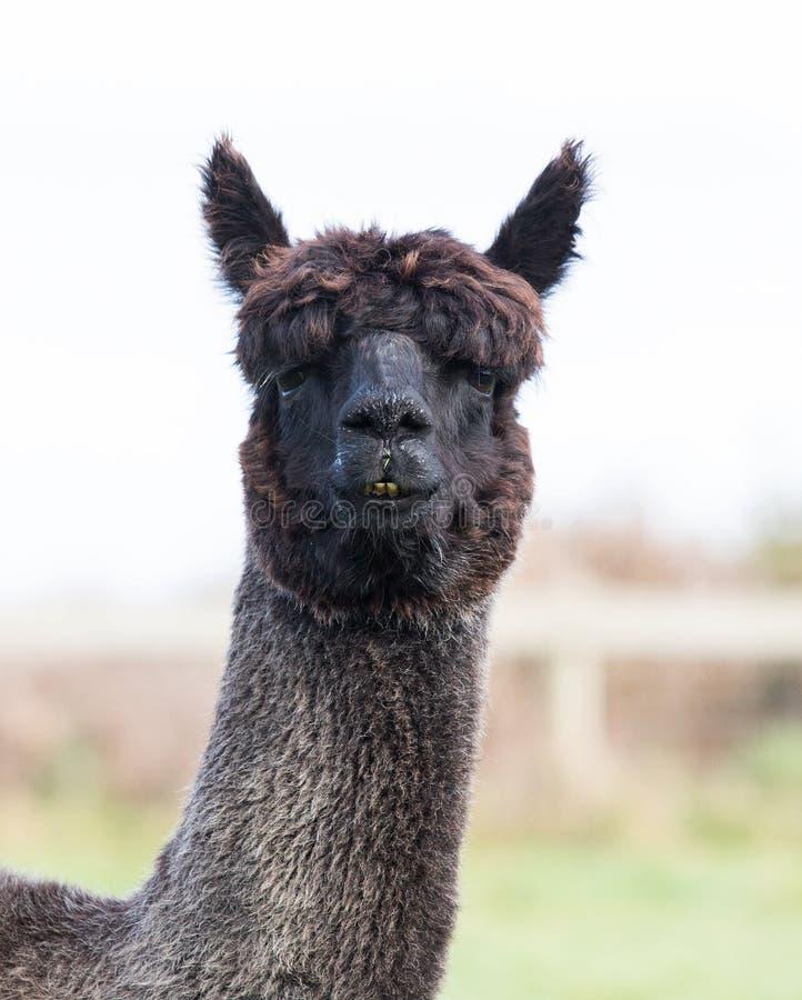 Feche acima da cara da alpaca preta da pele foto de stock royalty free