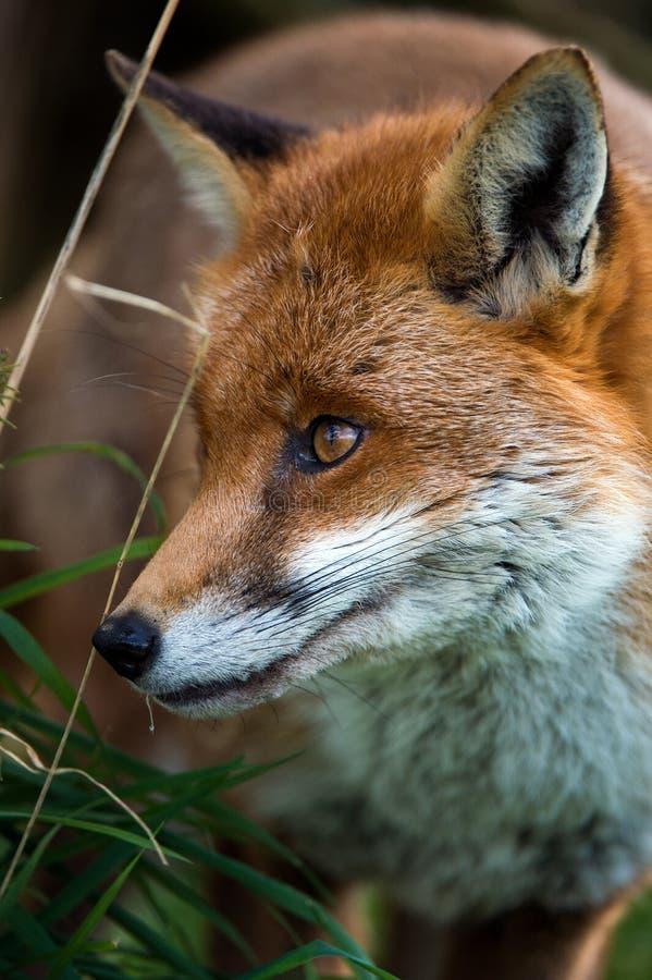Download Fox imagem de stock. Imagem de caçador, predator, adaptable - 29842929