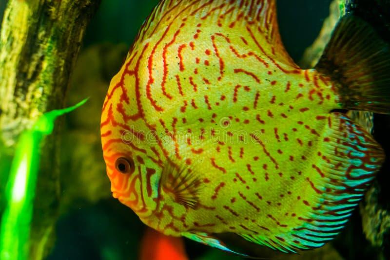 Feche acima da cara de um peixe azul do disco, animal de estimação tropical popular do aquário na cultura aquática, specie tropic fotografia de stock