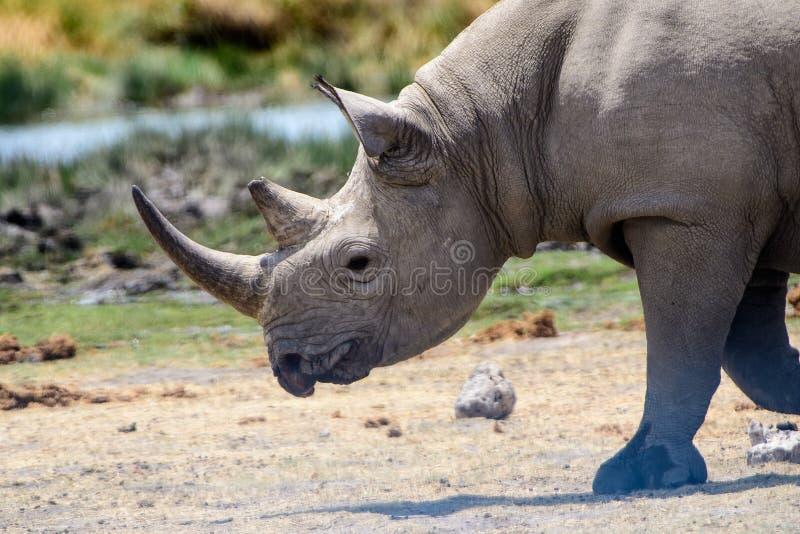 Feche acima da cara de um rinoceronte imagem de stock royalty free