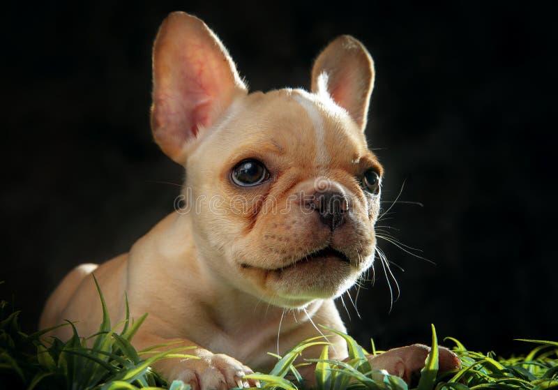 Feche acima da cara do cachorrinho francês do cão do touro no tiro do estúdio imagens de stock royalty free