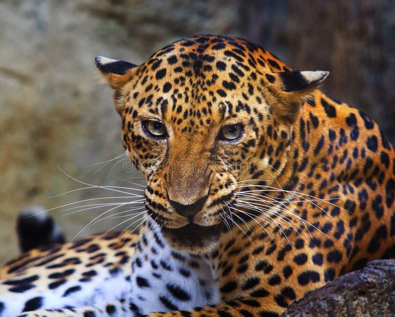 Feche acima da cara do leopardo irritado imagens de stock royalty free