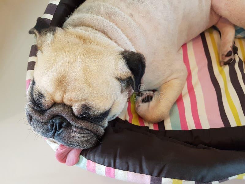 Feche acima da cara do resto engraçado bonito do sono do cão do pug do cachorrinho na cama com a língua que cola para fora Cão en fotografia de stock