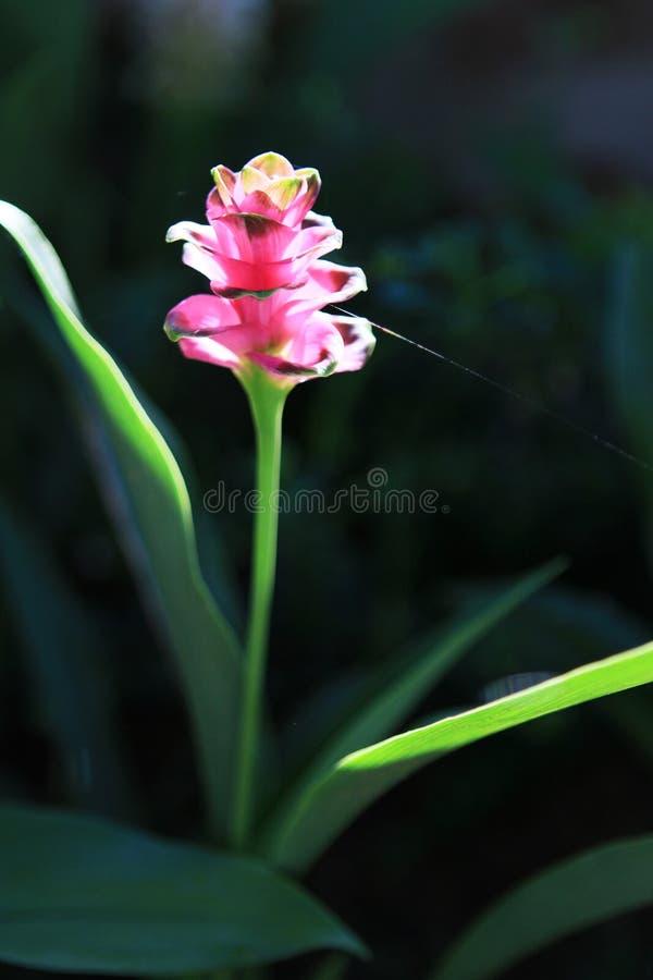 Feche acima da curcuma cor-de-rosa fotografia de stock royalty free