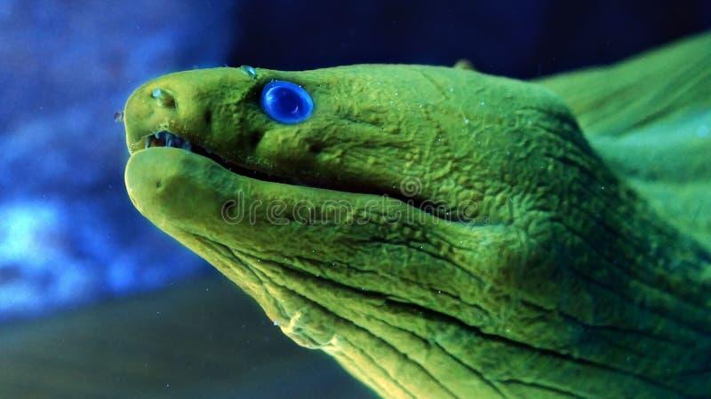 Feche acima da enguia de moray verde com olhos azuis fotos de stock royalty free