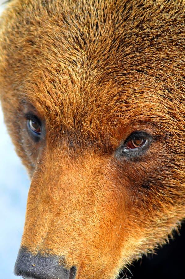 Feche acima da face de um grande urso marrom fotografia de stock royalty free