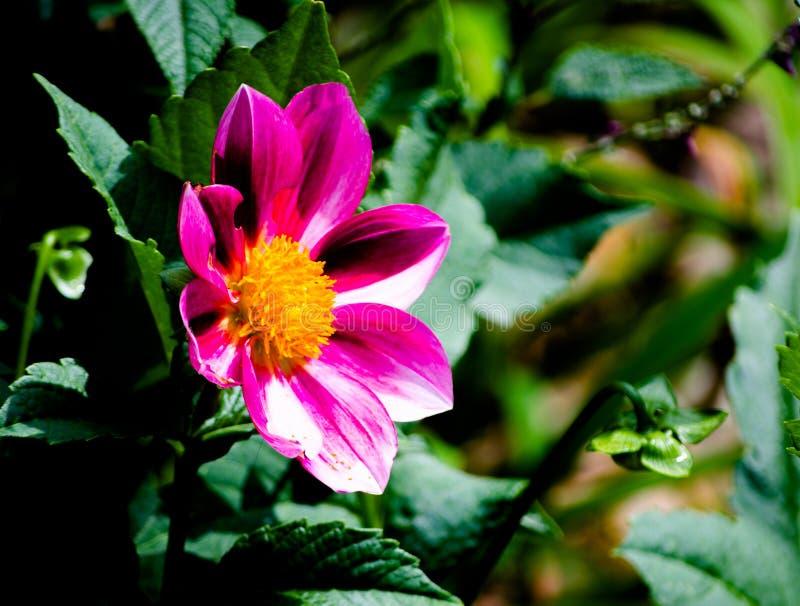 Feche acima da flor 'Zany do ` de Rose Picotee do Zinnia cor-de-rosa vermelho em uma estação de mola em um jardim botânico imagem de stock
