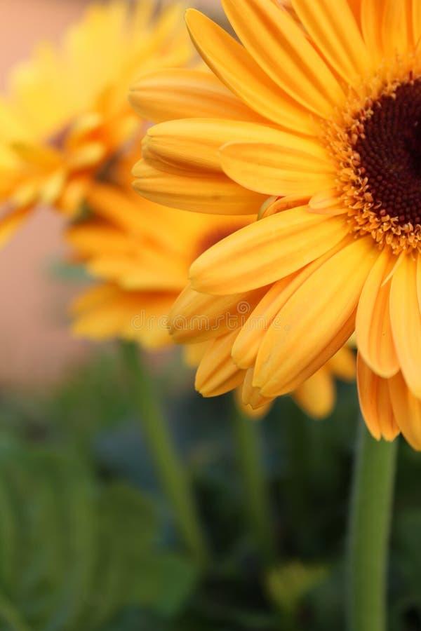 Feche acima da flor amarela do gerbera foto de stock royalty free