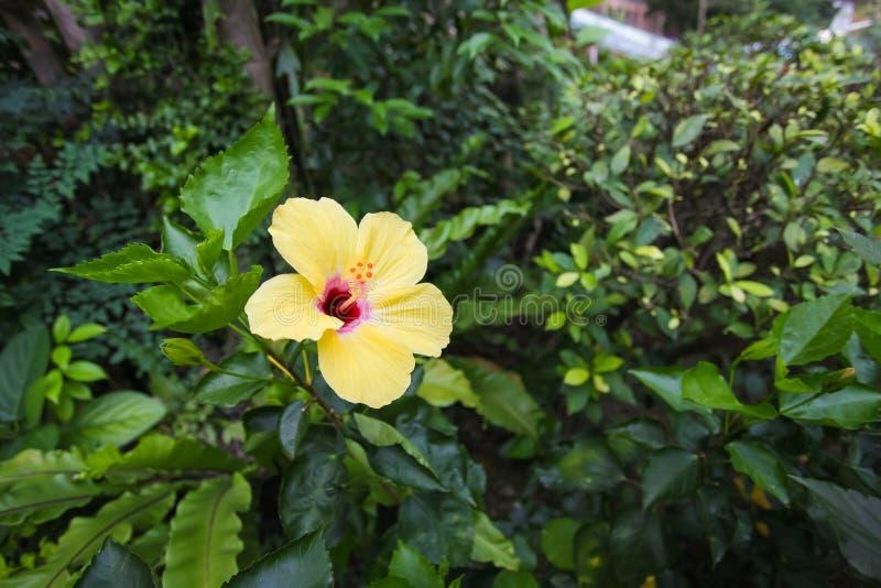 Feche acima da flor amarela do hibiscus na natureza nas folhas verdes, fundo beautyful fotografia de stock royalty free