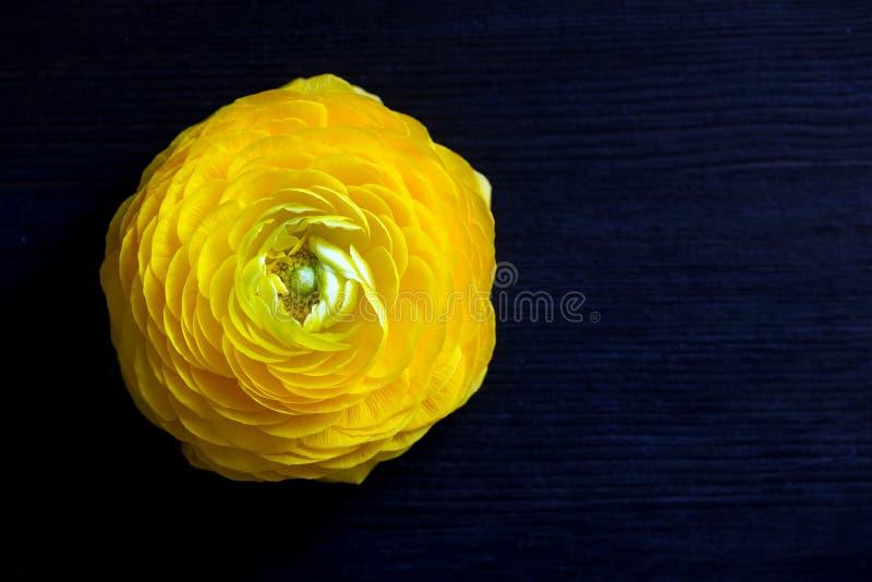 Feche acima da flor amarela do ranúnculo no fundo escuro fotografia de stock royalty free