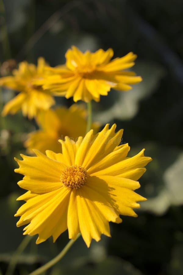 Feche acima da flor amarela no jardim imagens de stock