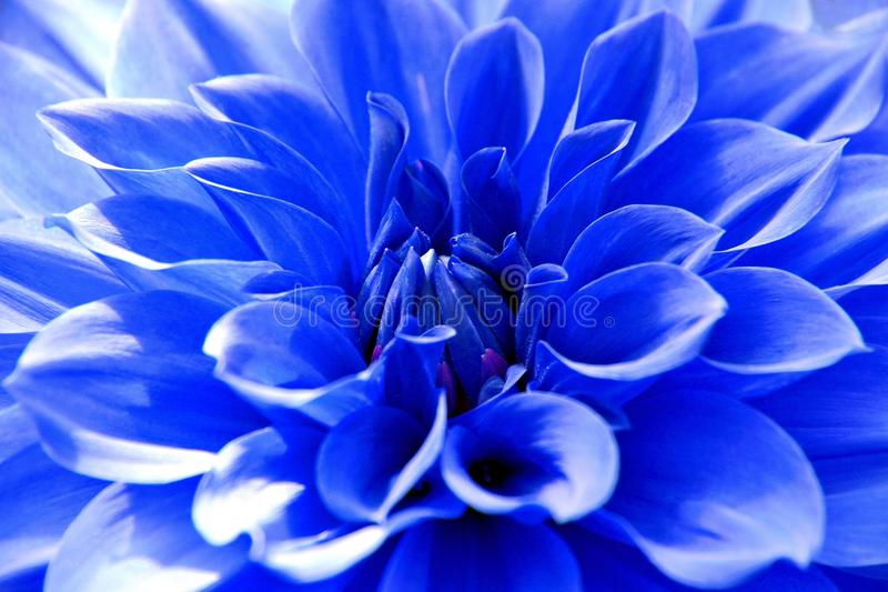 Feche acima da flor azul da dália fotos de stock royalty free