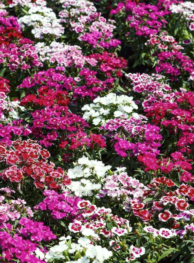 Feche acima da flor bonita do cravo-da-índia no jardim fotografia de stock