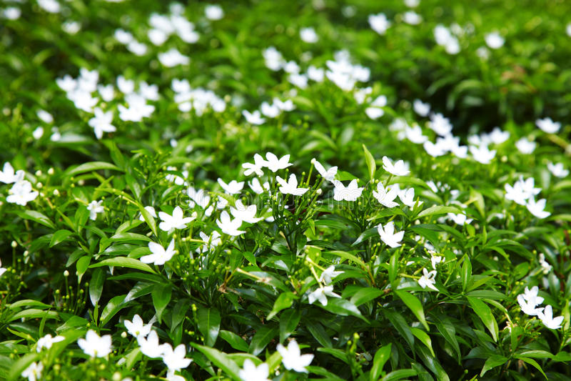 Feche acima da flor branca asiática fotografia de stock royalty free