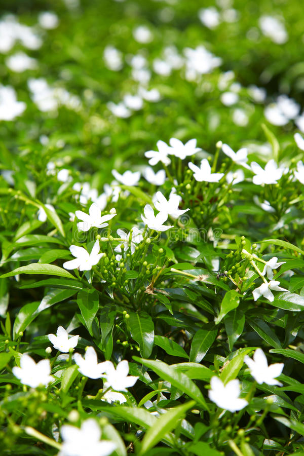 Feche acima da flor branca asiática foto de stock royalty free