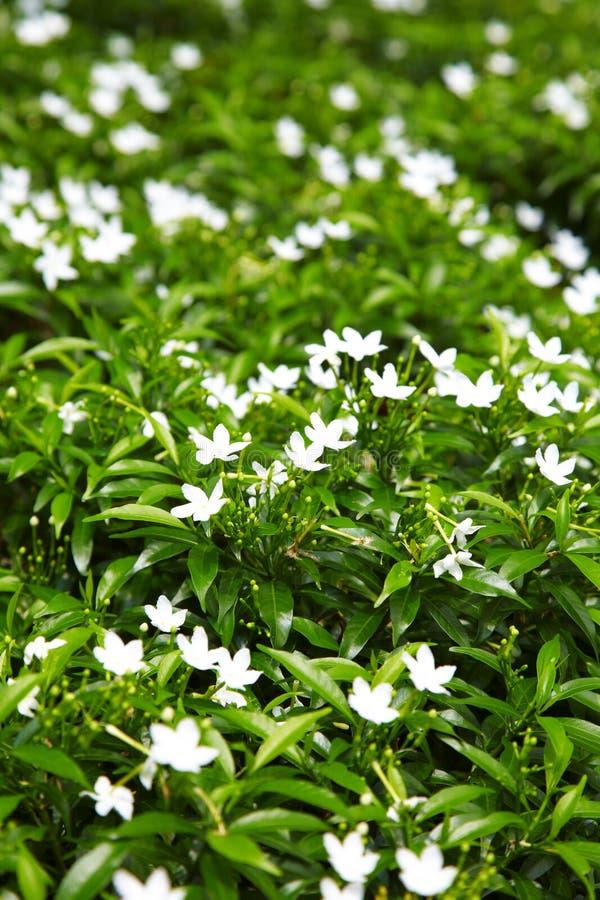 Feche acima da flor branca asiática fotos de stock