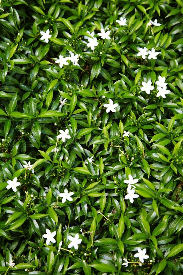 Feche acima da flor branca asiática imagens de stock royalty free