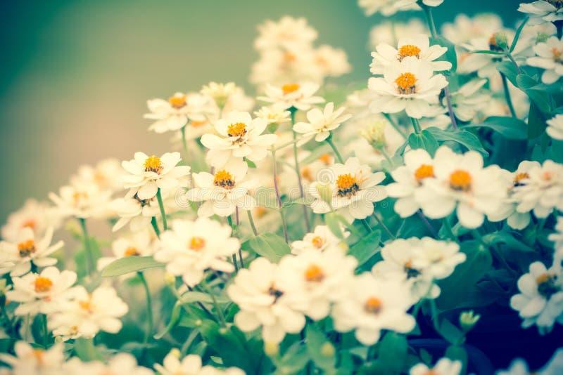 Feche acima da flor branca no jardim, foco seletivo foto de stock royalty free