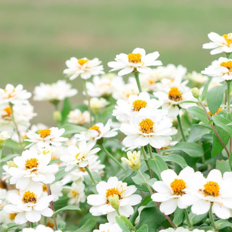 Feche acima da flor branca no jardim, foco seletivo imagem de stock