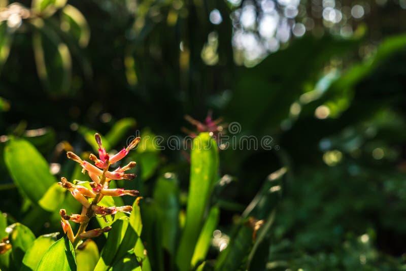 Feche acima da flor da bromeliácea na luz do sol da manhã fotografia de stock royalty free