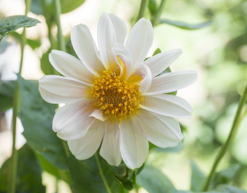 Feche acima da flor colorida branco da dália, fundo verde naural Foco seletivo Macro imagens de stock royalty free