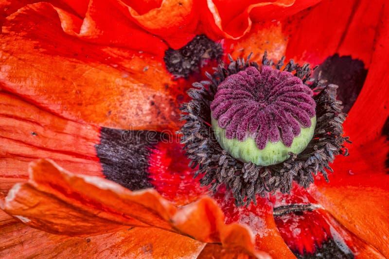 Feche acima da flor da papoila imagens de stock