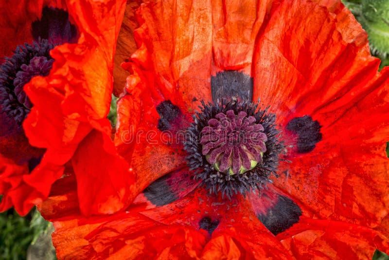 Feche acima da flor da papoila imagem de stock