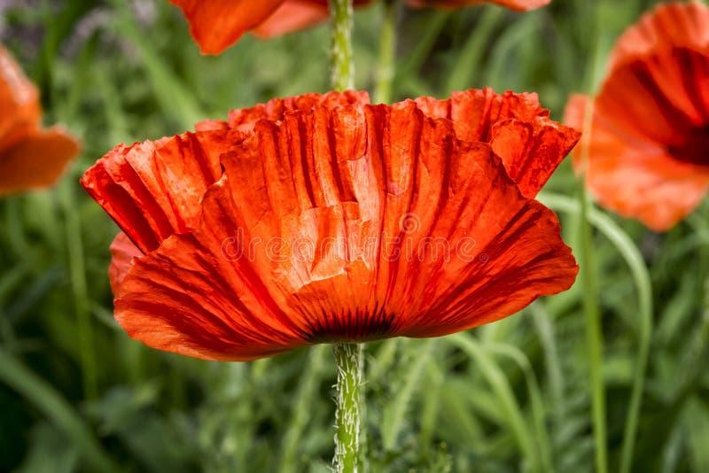 Feche acima da flor da papoila imagens de stock royalty free