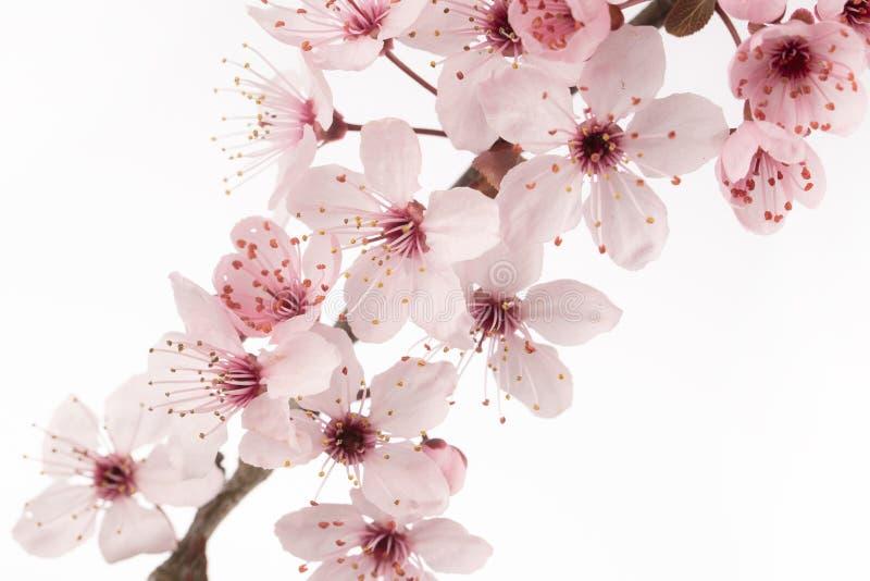 Feche acima da flor de cerejeira japonesa imagem de stock