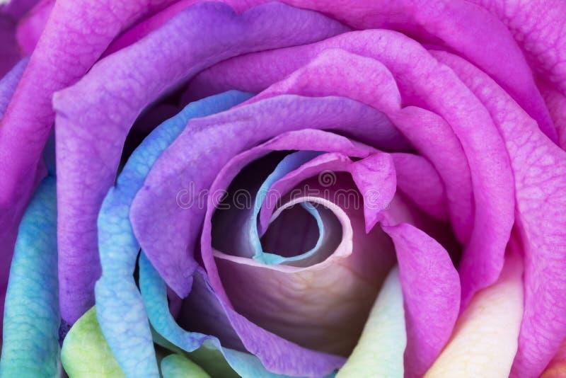 Feche acima da flor do arco-íris com pétalas coloridas imagem de stock