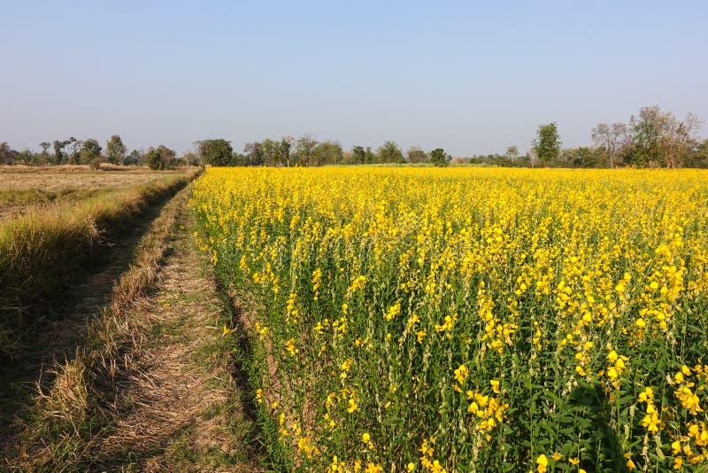 Feche acima da flor do sunhemp e do campo do arroz após a colheita imagens de stock royalty free