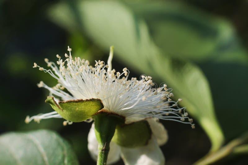 Feche acima da flor da goiaba imagens de stock