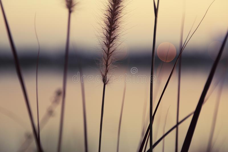 Feche acima da flor marrom da grama com bokeh claro dourado sobre um lago fotos de stock royalty free