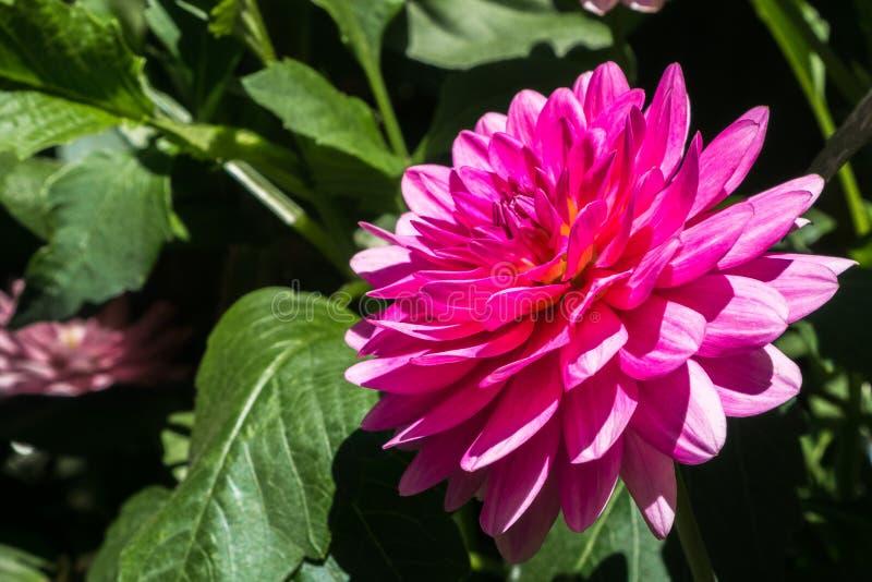 Feche acima da flor pinulado cor-de-rosa de Dahlia Dahlia Pinnata; folhas verdes visíveis no fundo imagens de stock