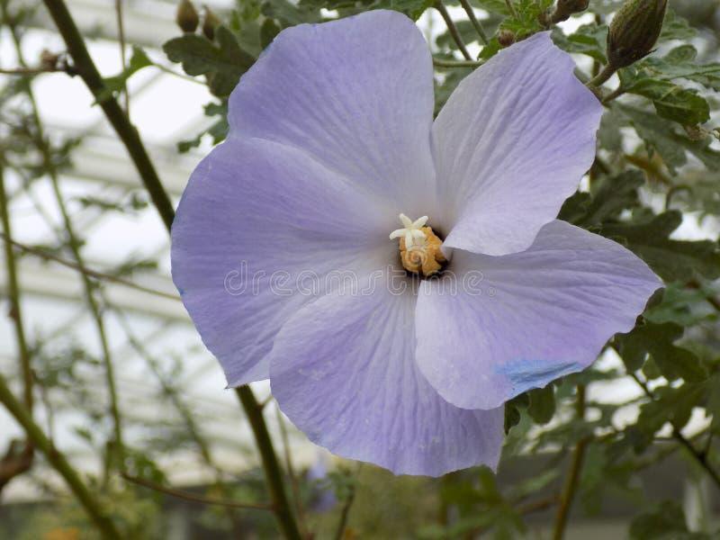 Feche acima da flor roxa com fundo borrado dentro de uma construção imagem de stock